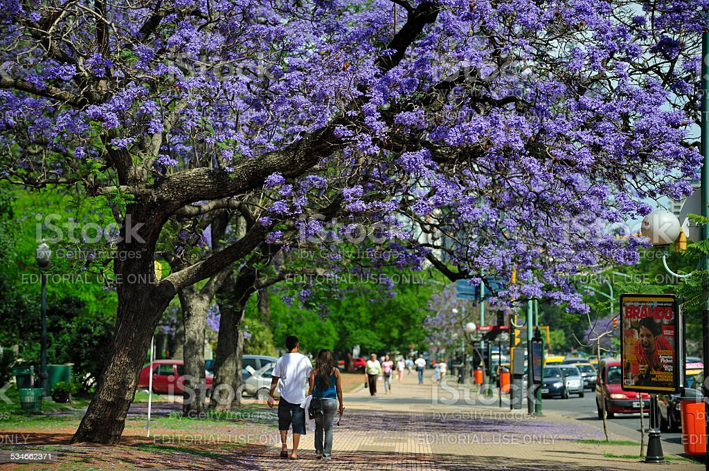 Jacaranda tree in full bloom, Buenos Aires, Argentina stock photo