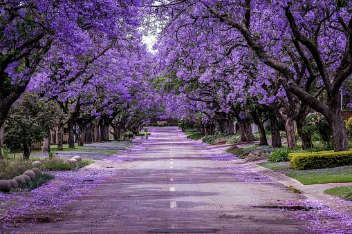 a Purple covered street of Jacarandas in full bloom. The trees are covered in the purple petals and some of them have fallen in the road. Jacaranda mimosifolia is a sub-tropical tree native to south-central South America that has been widely planted elsewhere because of its attractive and long-lasting pale indigo flowers.