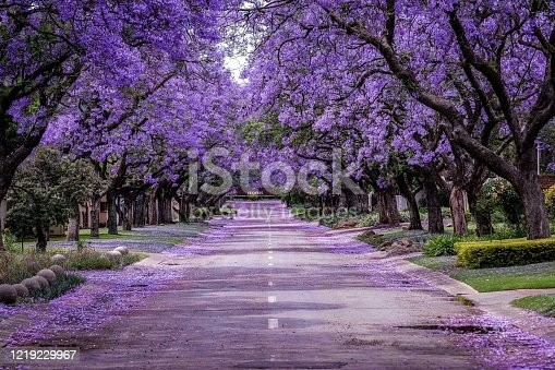 istock Jacaranda Tree in full bloom 1219229967