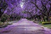 istock Jacaranda Tree in full bloom 1219229967