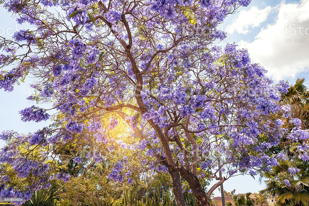 Jacaranda Tree In San Diego Stock Photo More Pictures Of Blooming