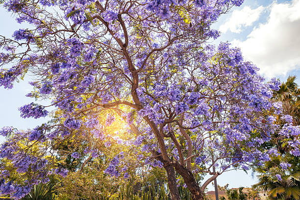 Well-known Royalty Free Jacaranda Tree Pictures, Images and Stock Photos - iStock RY77