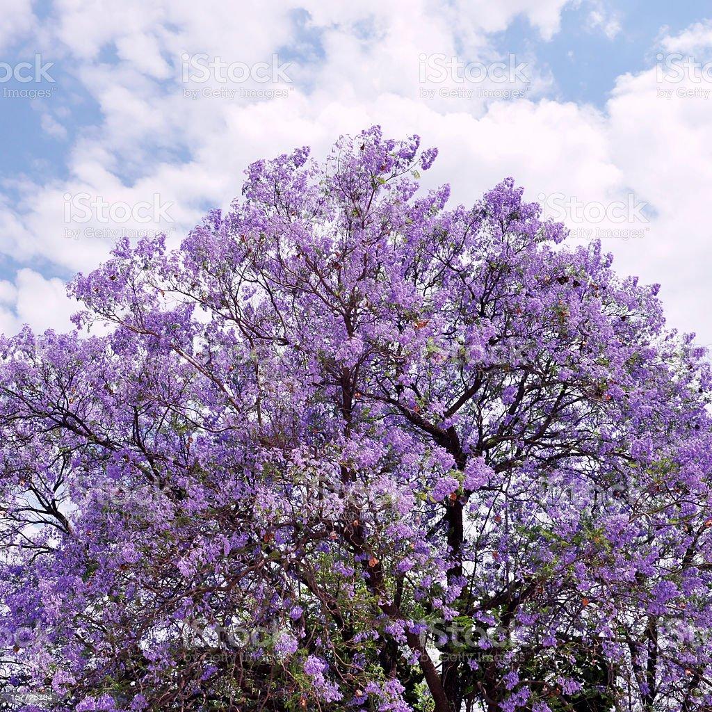 Jacaranda tree stock photo