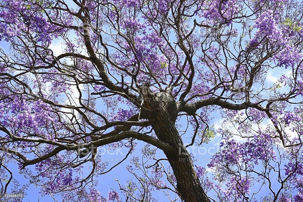 Jacaranda Tree Stock Photo More Pictures Of Australia Istock