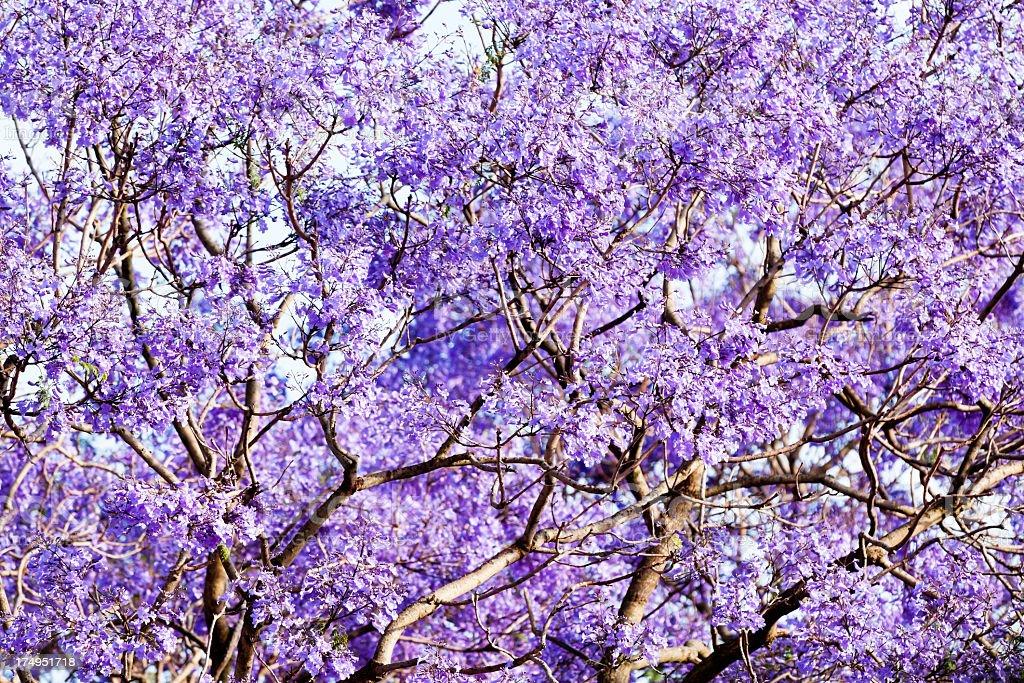 Jacaranda tree purple blossoms in spring time stock photo
