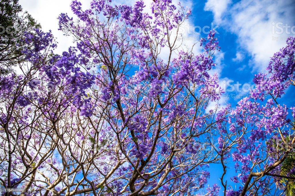 Jacaranda Tree With Purple Flowers Stock Photo Download Image Now Istock