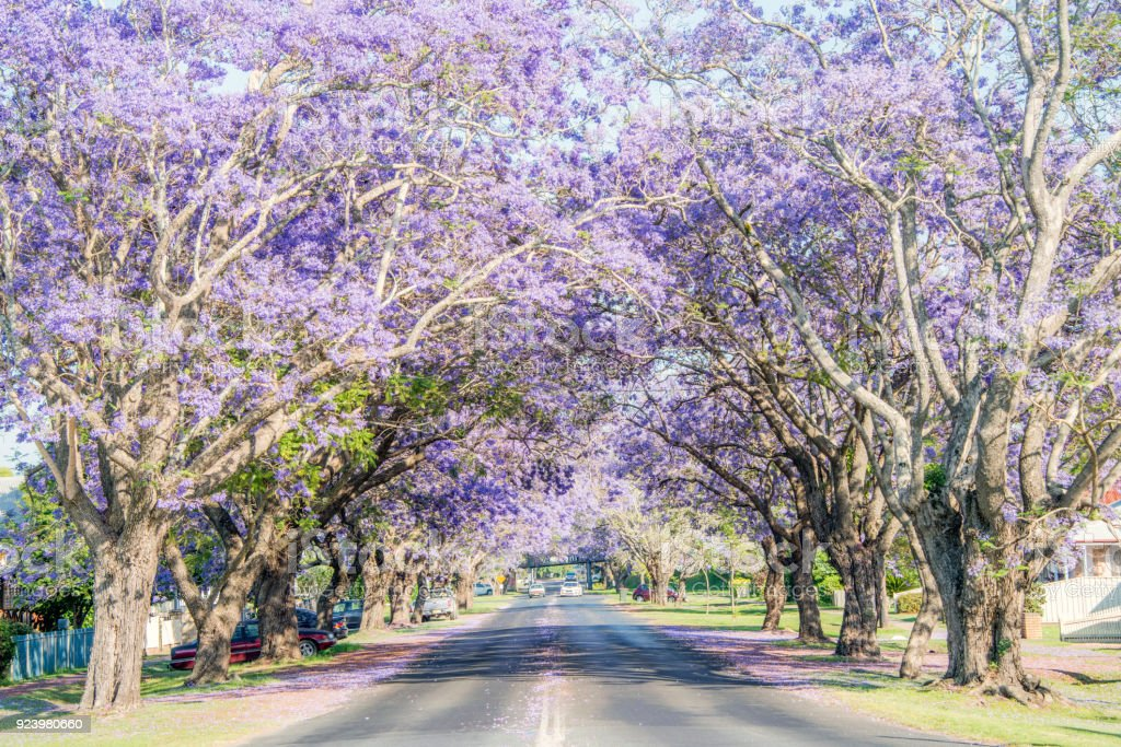 Jacaranda Trees In Country Australia Stock Photo More Pictures Of