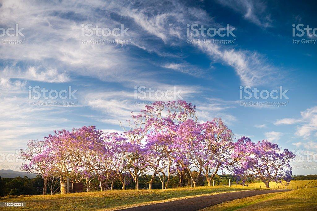 Jacaranda Trees in Flower stock photo