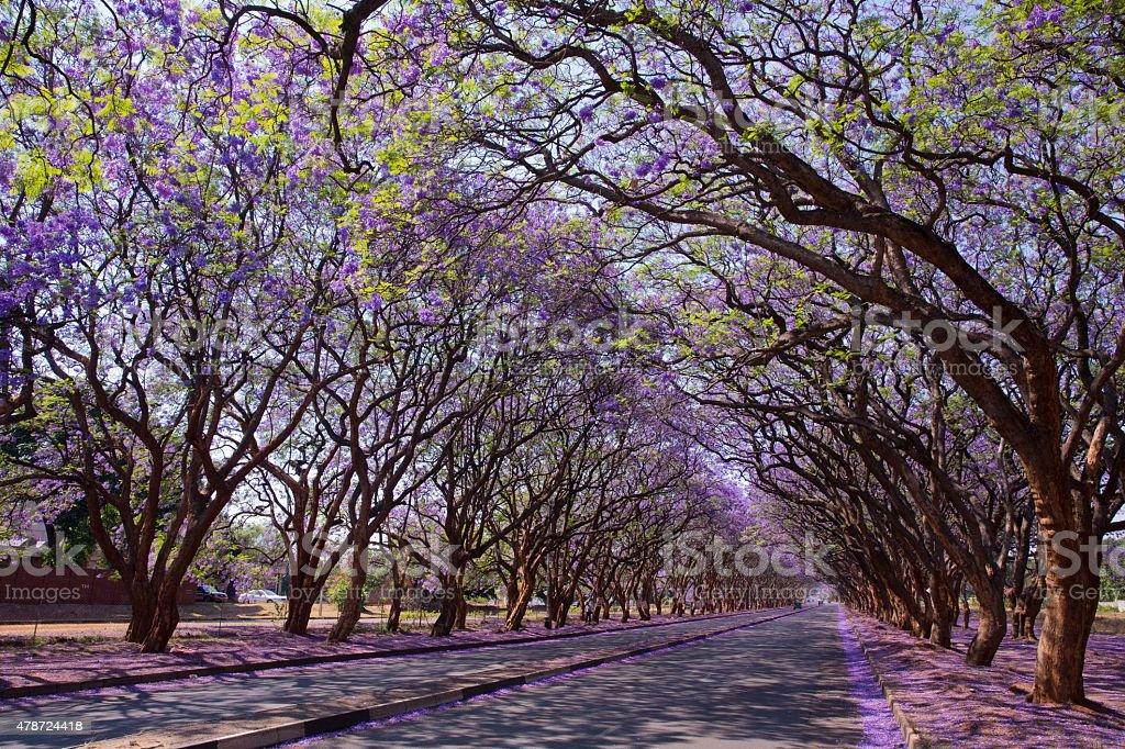 Jacaranda trees in Harare stock photo