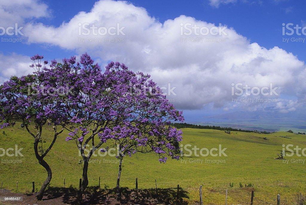 Jacaranda Trees on Maui stock photo