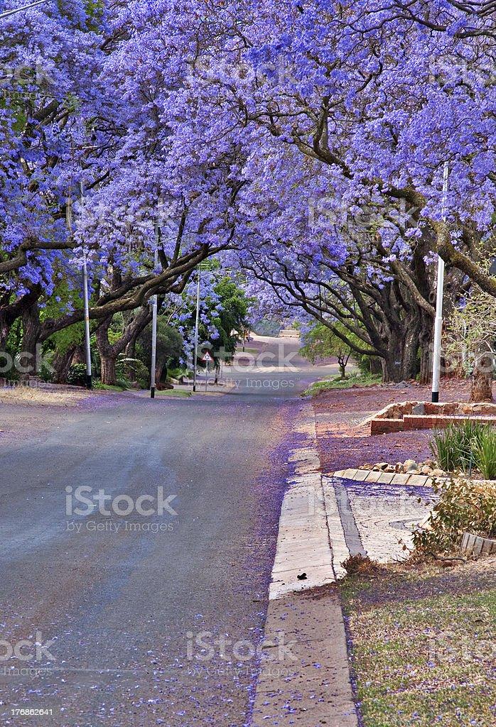 jacaranda trees stock photo