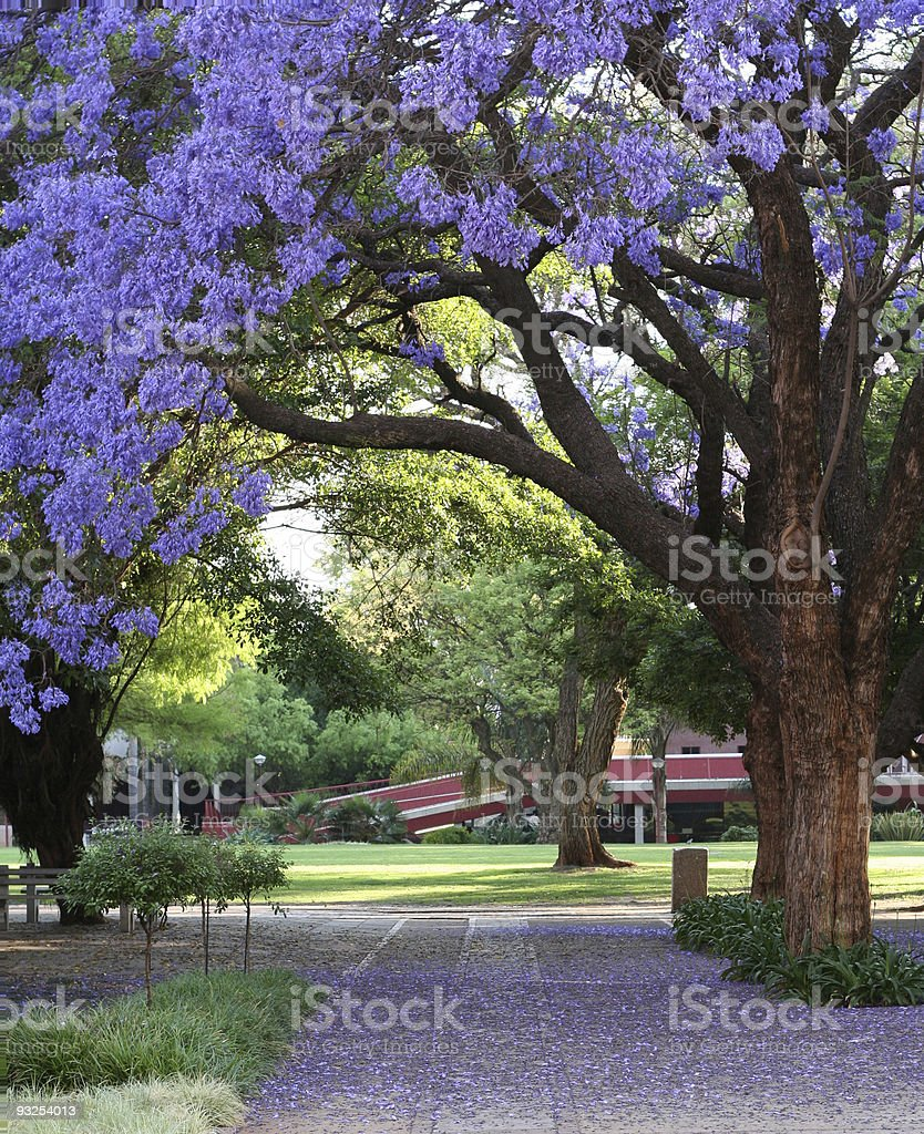 Jacarandas in Bloom stock photo