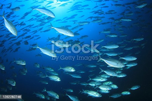 School of Bigeye Trevally fish (Jackfish) underwater video in the Similan Islands, Thailand