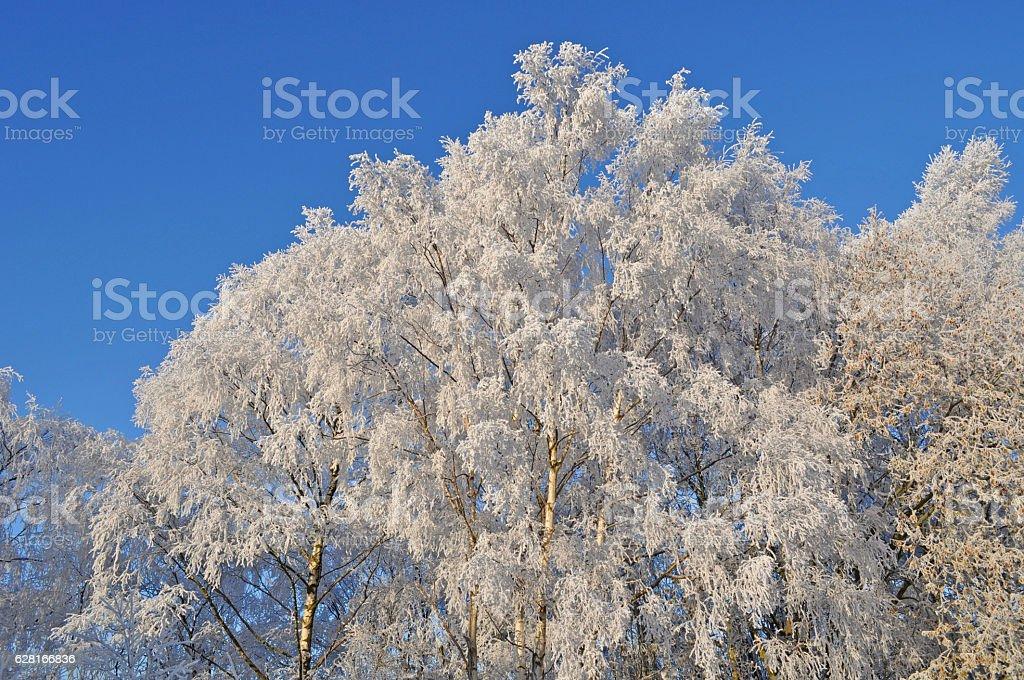 Jack Frost Trees stock photo