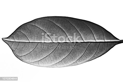 Jack fruit leaf (black and white)