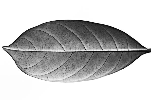 jack fruit leaf (black and white) - foliate pattern stock photos and pictures