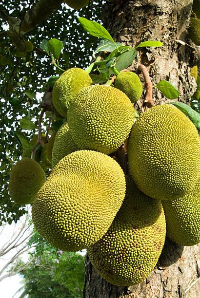 jack obstbaum - jackfrucht stock-fotos und bilder