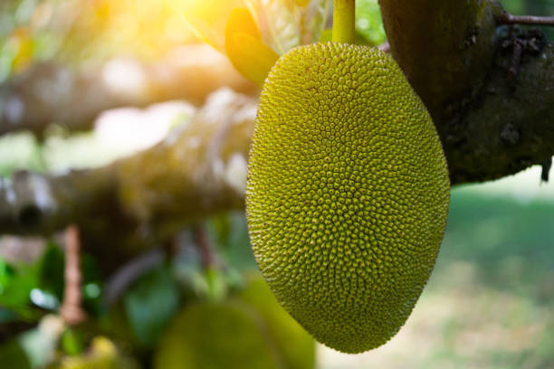 Jack fruits hanging in trees in a tropical stock photo