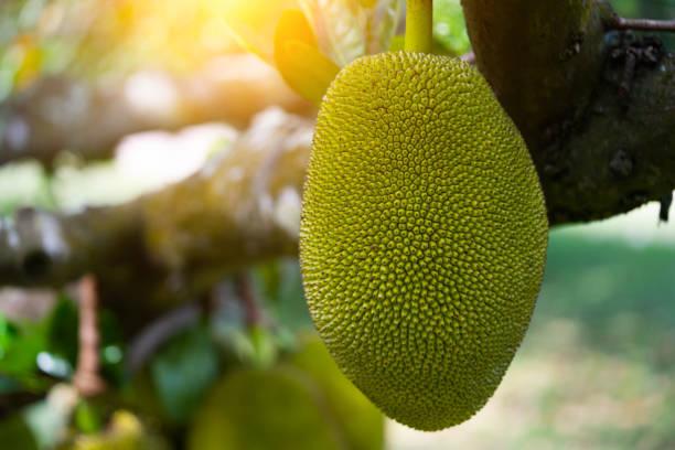 Frutos de Jack pendurado em árvores em um tropical - foto de acervo