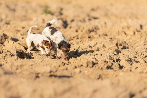 2 jack rusell terrier hond volgen een parcours op een veld. honden zijn 4 en 12 jaar oud. - dog looking at floor path stockfoto's en -beelden