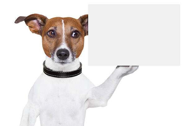 Jack Russel dog holding blank card dog holding a  blank white cardboard on paw animal hand stock pictures, royalty-free photos & images
