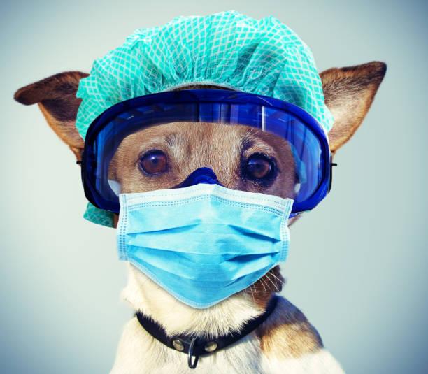 jack russel perro con máscara y ropa protectora - ironía fotografías e imágenes de stock