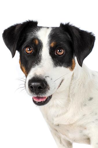Hund Heißer Kopf