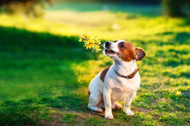 jack russel on flower meadow With a branch of yellow flowers in the teeth. Congratulations concept stock photo