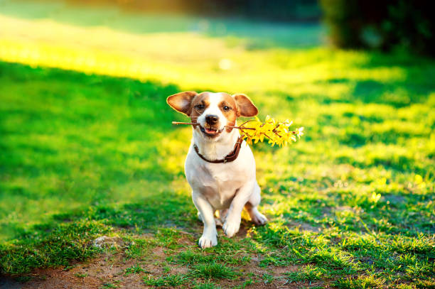 jack russel On the green lawn With a branch of yellow flowers in the teeth. Congratulations concept stock photo