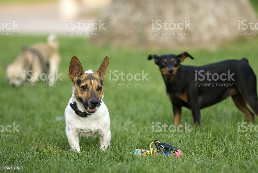 jack russel royalty-free stock photo
