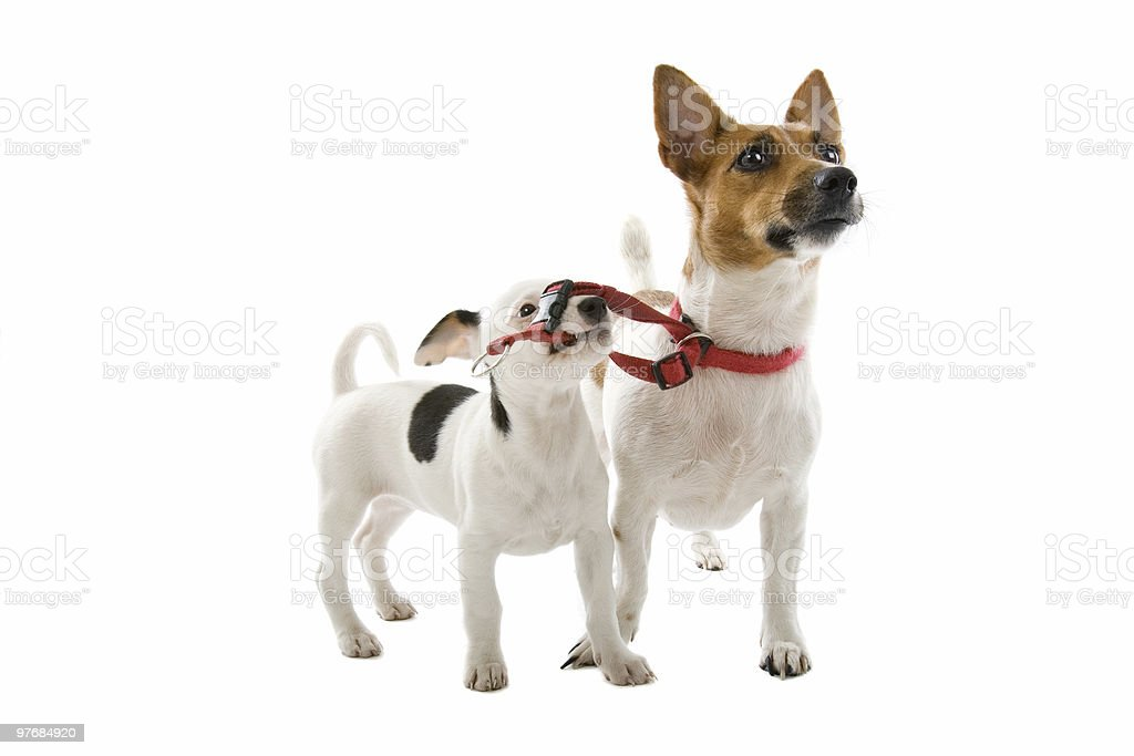 jack russel pup with its mom royalty-free stock photo