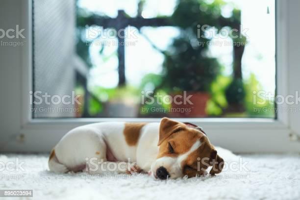 Jack russel puppy on white carpet picture id895023594?b=1&k=6&m=895023594&s=612x612&h=onyfkauubyl i4jx31cl56lujoetdg2ersmffekku7q=