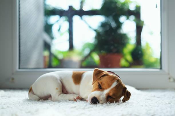 Jack russel puppy on white carpet picture id895023594?b=1&k=6&m=895023594&s=612x612&w=0&h=dhf7z0pr0dqei77yubnrcckokor3mmqbt0 gzdacnyq=