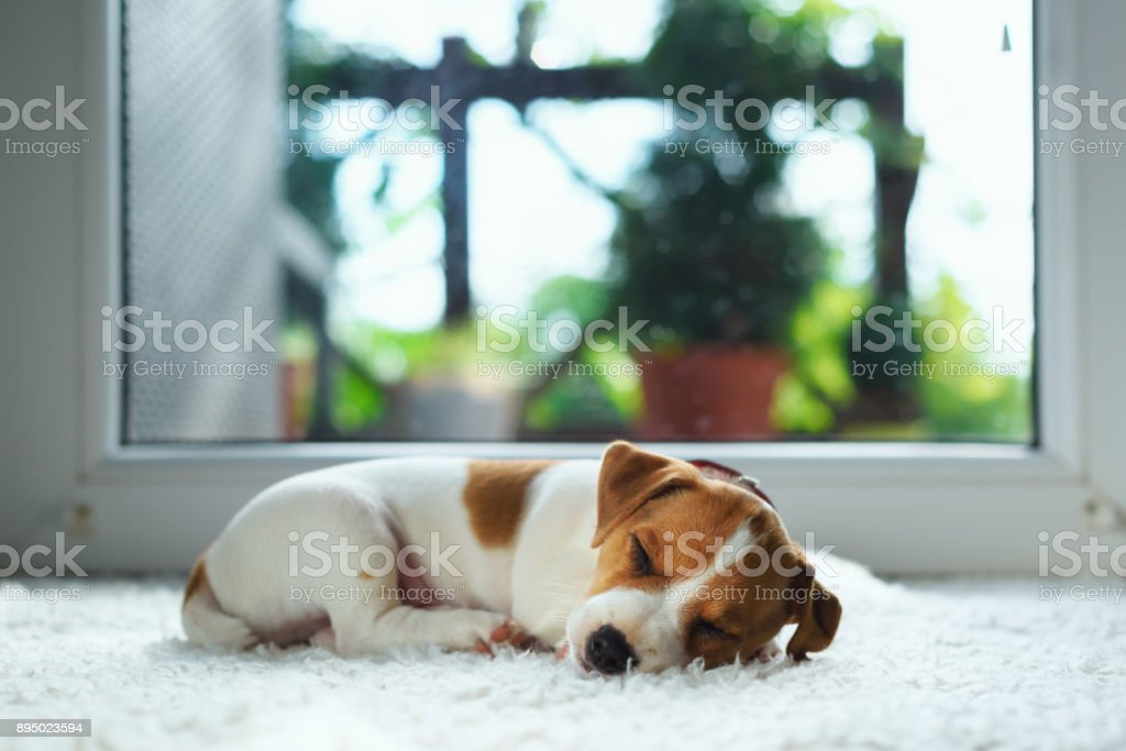Jack russel puppy on white carpet stock photo