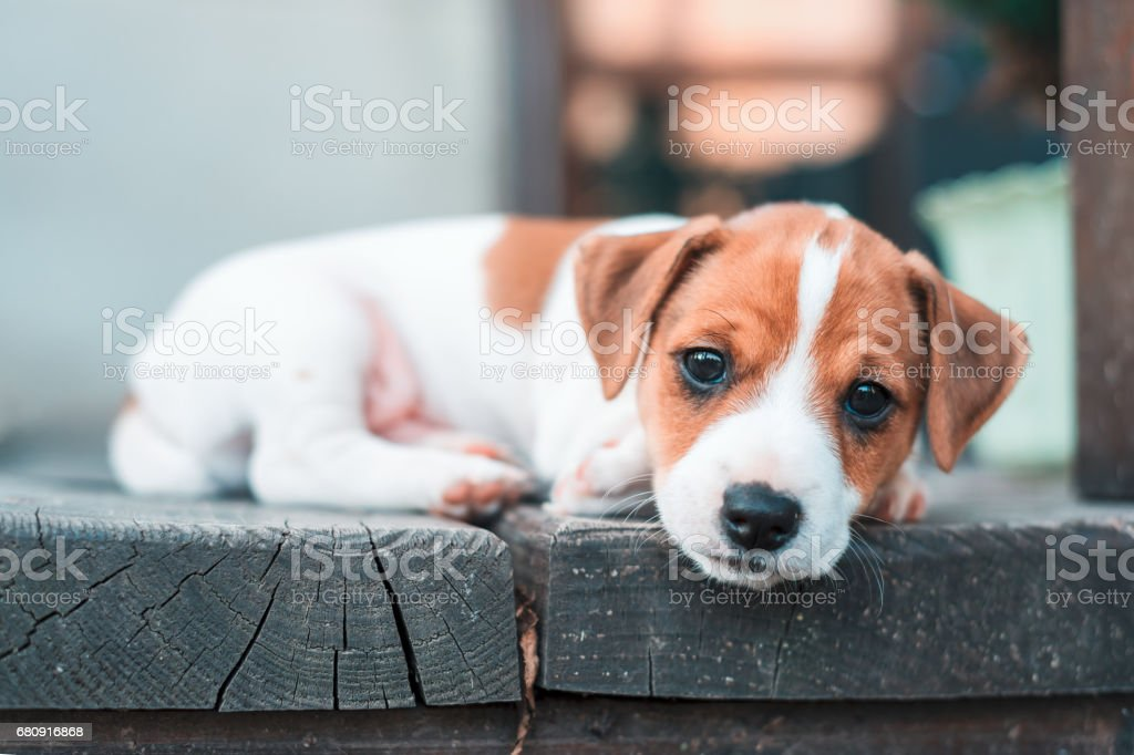 Jack russel puppy royalty-free stock photo
