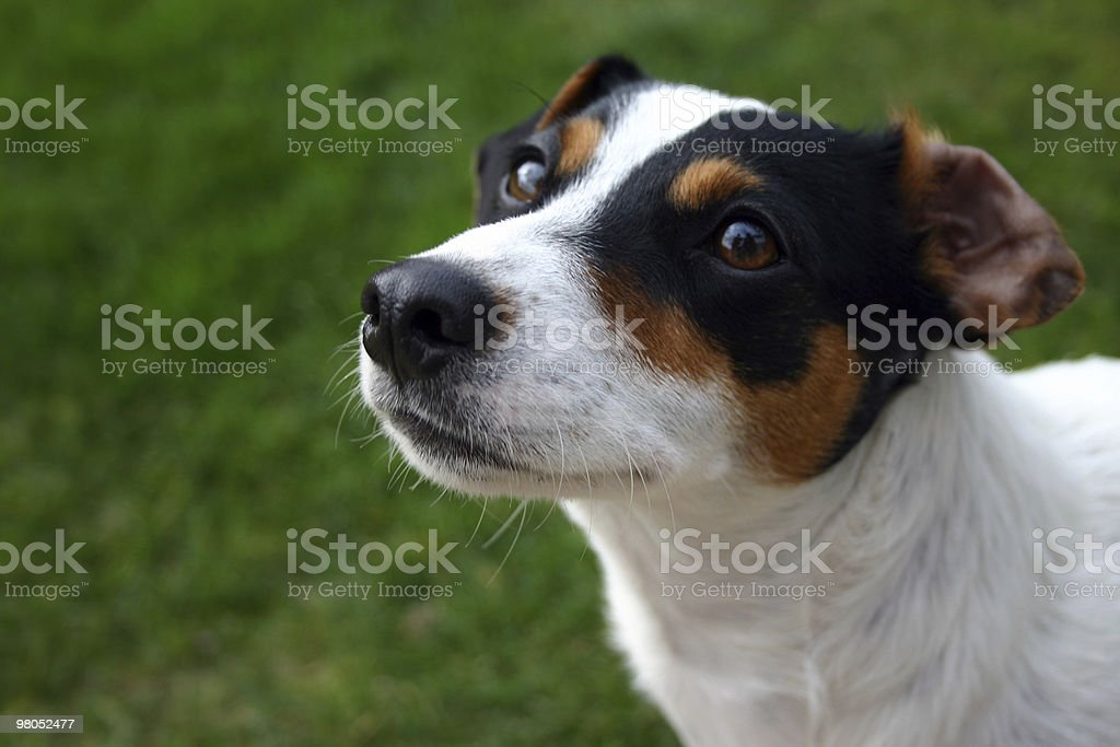 Jack russel stares up royalty-free stock photo