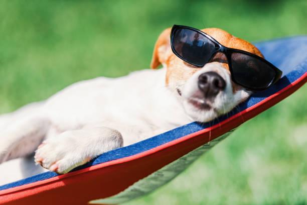 Jack russel terrier dog lies on a deckchair picture id1044469816?b=1&k=6&m=1044469816&s=612x612&w=0&h=u3zpaxkh0ejiiqb4zftzoix0mel46oyt9e08og17q y=