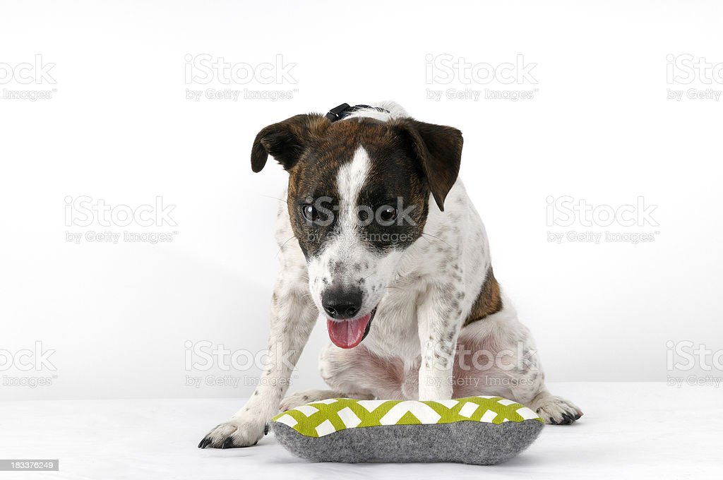 Jack russel terrier dog royalty-free stock photo