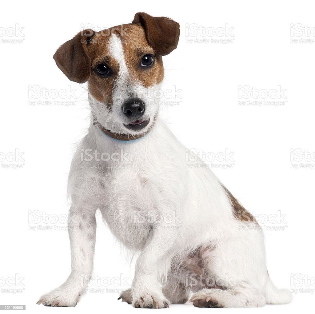 Jack Russel Terrier, five years old, sitting, white background. stock photo