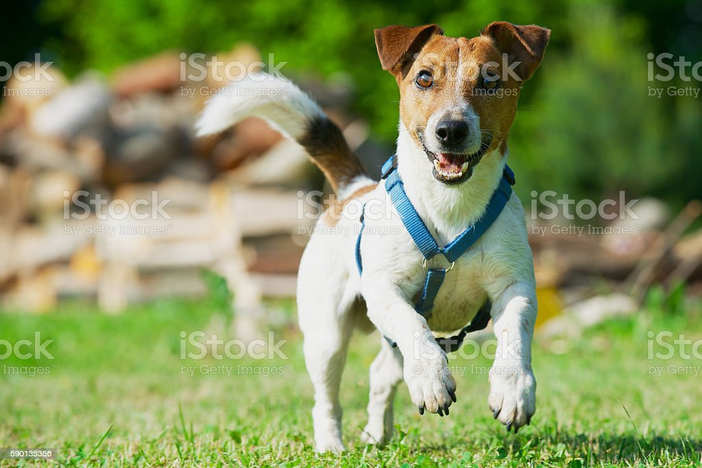 Jack Russel Terrier in a blue harness runs on grass. stock photo