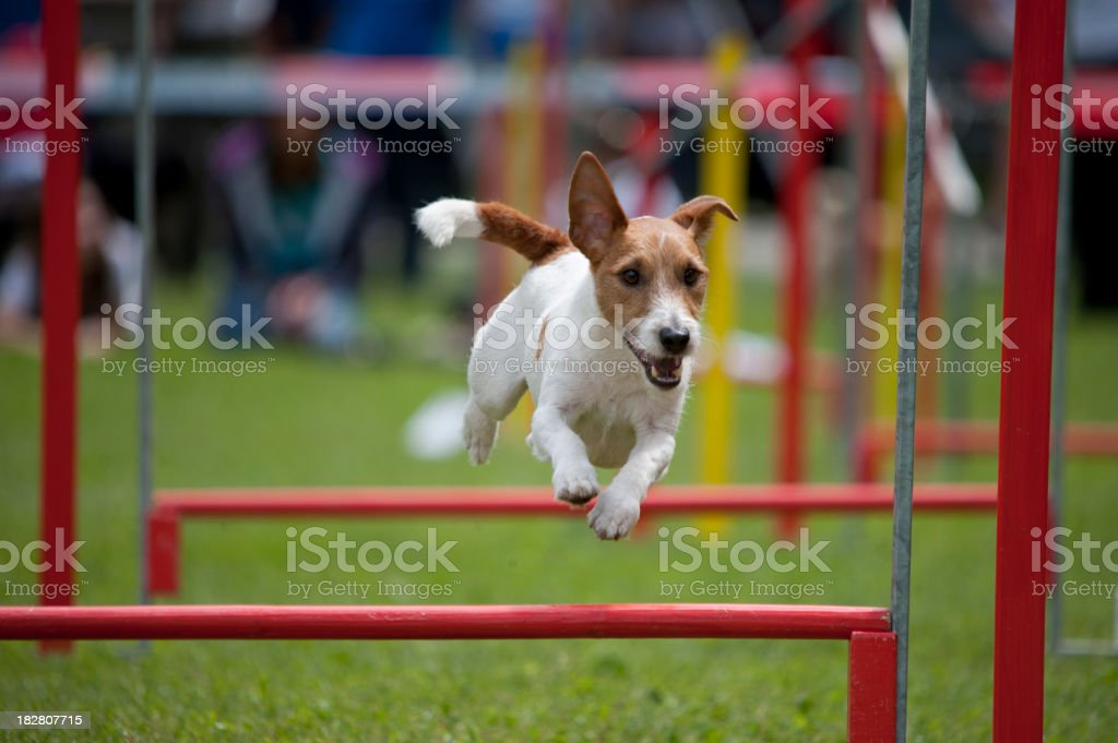 Terrier Jack Russel - Photo