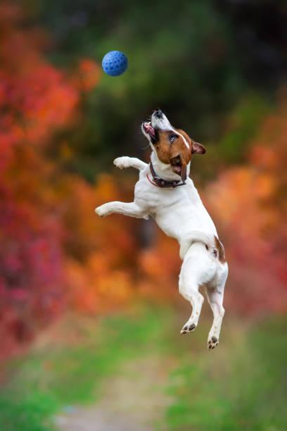 Jack russel terrier play and jump picture id873196744?b=1&k=6&m=873196744&s=612x612&w=0&h=0ffl8nkvv2j 5go3bbq3xvodqtbwqtcyvfvs4aoiifw=