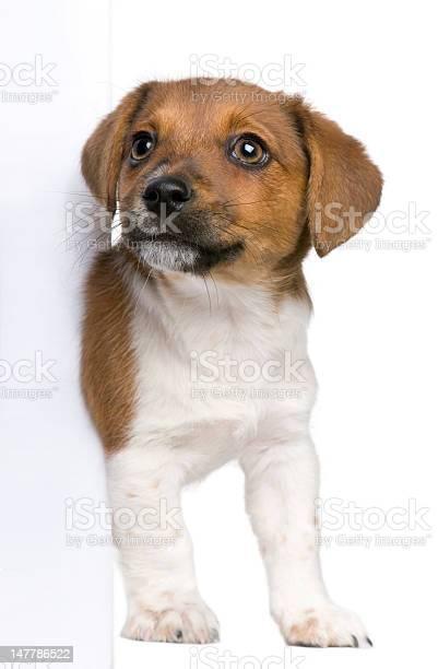 Jack russel terrier puppy peeking around white board picture id147786522?b=1&k=6&m=147786522&s=612x612&h=efxkzd2upyyyrwtm6smx1seqtcfjtg88lex9js12 hw=