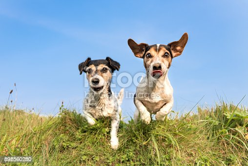 885056264 istock photo Jack Russell 8 and 10 years old - hair style: broken and smooth - two little cute hunting dogs running and jumping joyfully over an obstacle in a meadow against a blue sky 898560280