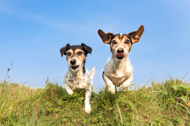 Jack Russell 8 and 10 years old - hair style: broken and smooth - two little cute hunting dogs running and jumping joyfully over an obstacle in a meadow against a blue sky stock photo