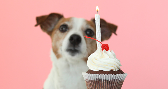 istock jack russell dog look at candle in cake 955484108