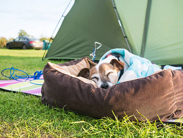 Jack Russell dog out camping stock photo