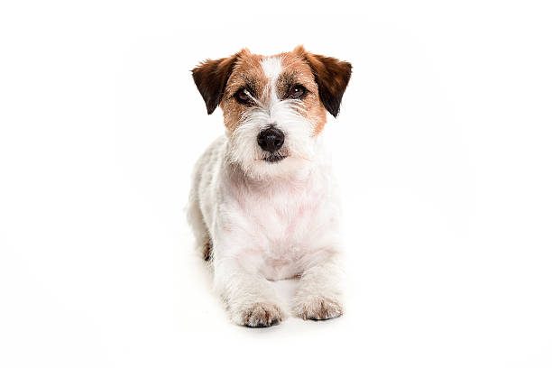 jack russell dog posing laying in white studio stock photo