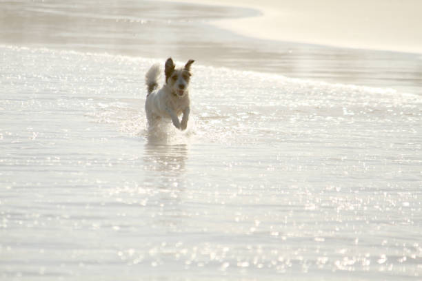 Jack russell dog running in the water at the beach picture id853737134?b=1&k=6&m=853737134&s=612x612&w=0&h=ywm9nkkomwnacjkbcb09gyfl52oevkgfi45va enwhy=
