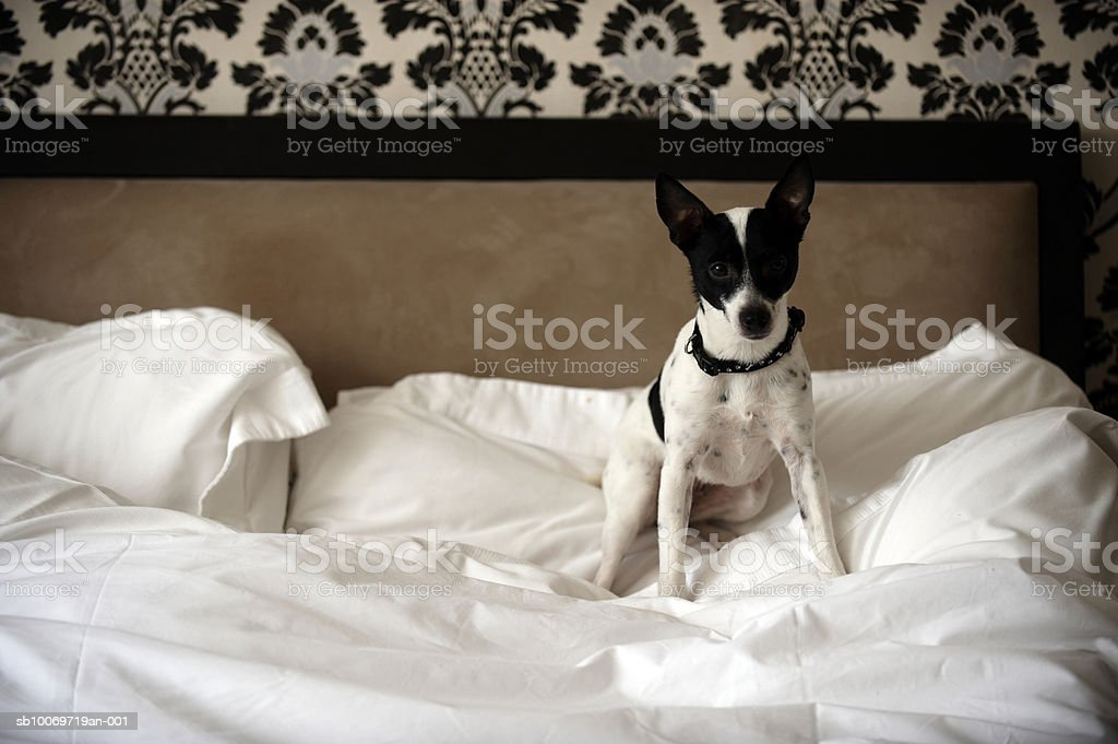 Jack Russell dog sitting on unmade bed, portrait royalty-free stock photo